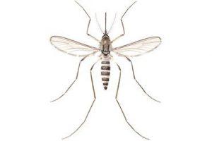 Mosquito female